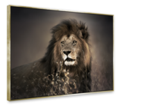 Small_fa003_golden_lion_85x113_s